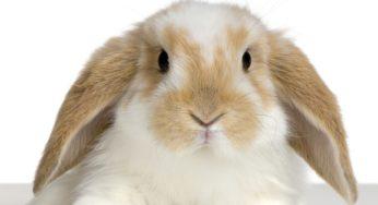 Lire la suite: Comprendre son lapin