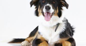 Maladies cardiaques congénitales chez le chien
