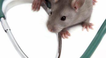 Lire la suite: La chromodacryorrhée du rat