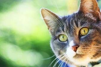 Perte de vision la c cit chez le chat ophtalmologie du chat sant chats - Perte de poils chez le chat ...