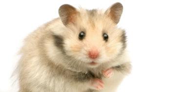 Lire la suite: Présentation du hamster