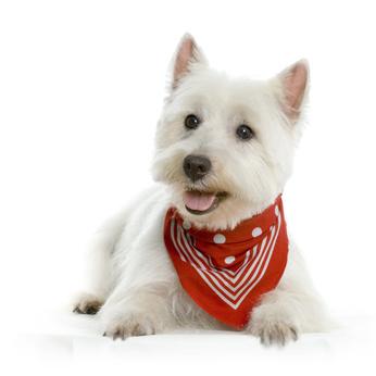 Lire la suite: Le West Highland White Terrier ou Westie