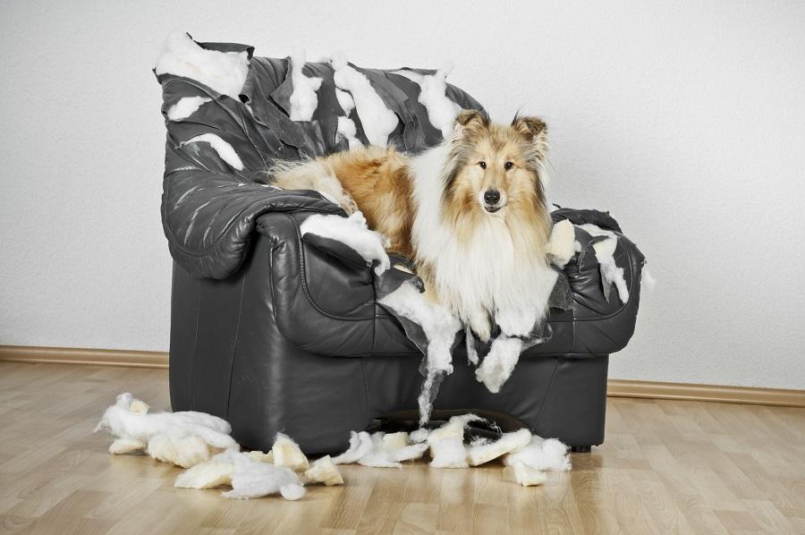 Mon chien détruit tout - Comportement du chien - Education