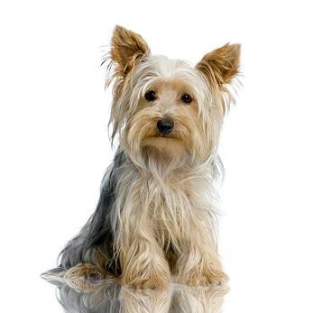 Lire la suite: Le Yorkshire Terrier