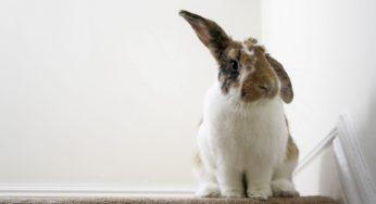 les 5 sens du lapin