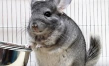 Lire la suite : Le chinchilla : habitat