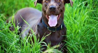 homéopathie chez le chien