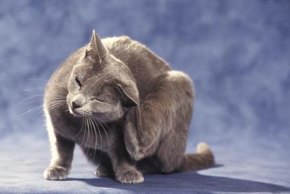 La DAPP chez le chat
