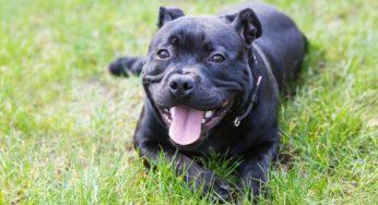 Le Staffordshire Bull Terrier
