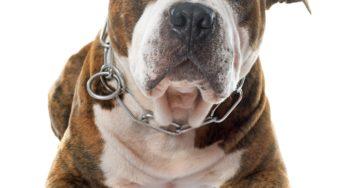 Lire la suite: L'American Staffordshire Terrier
