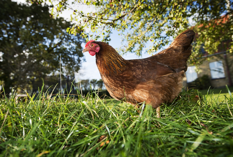 Maladies de la poule de compagnie m decine g n rale de l for Les maladies des poules