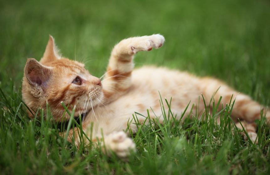 Les boiteries chez le chat pathologies de l 39 appareil locomoteur du chat sant chats - Image de chat a imprimer ...