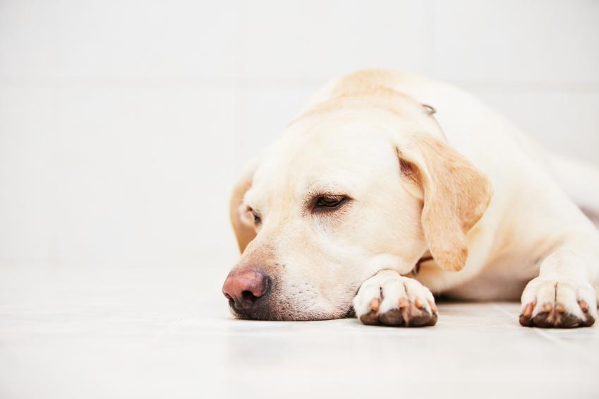 comment savoir si mon chien est malade m decine g n rale du chien sant chiens. Black Bedroom Furniture Sets. Home Design Ideas