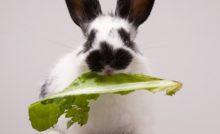 aliments qui usent les dents du lapin
