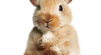 Lire la suite: Les problèmes de dents chez les lapins