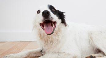 Lire la suite: Les pertes d'équilibre chez le chien