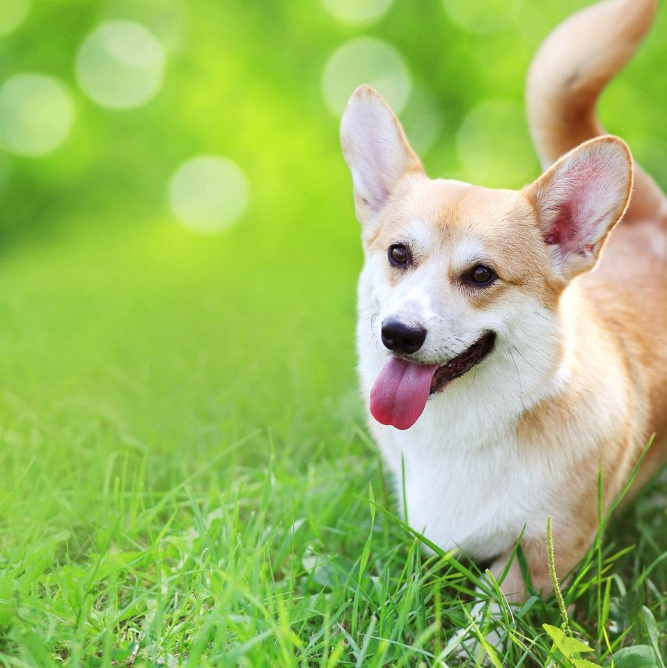 pertes vulvaires chienne