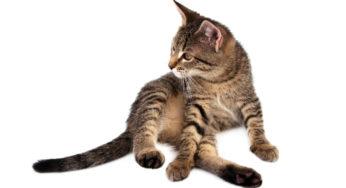 L'ataxie et les pertes d'équilibres chez le chat