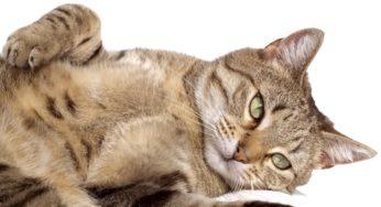 Tumeurs mammaires chez la chatte