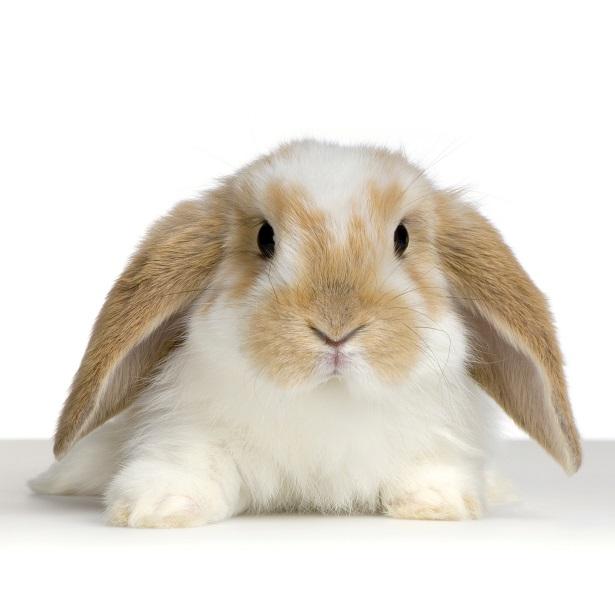 Turbo La castration du lapin - Lapin - Santé - NAC ZN95