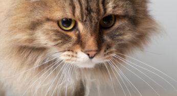 La calicivirose chez le chat
