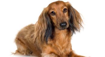 Lire la suite: L'AVC : accident vasculaire cérébral chez le chien
