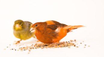 Les parasites des oiseaux