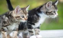 Lire la suite: Comment choisir un chaton dans une portée ?