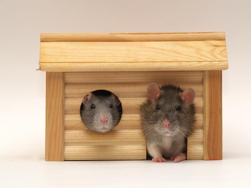 les bois toxiques pour les rongeurs et lapins rongeurs alimentation nac. Black Bedroom Furniture Sets. Home Design Ideas