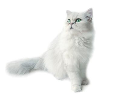 Lire la suite: Comment éduquer et vivre avec un chat sourd ?