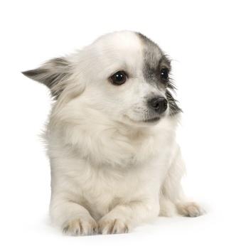 Les émotions et les capacités cognitives du chien.