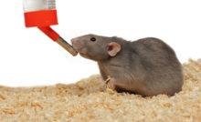 Les besoins nutritionnels du rat