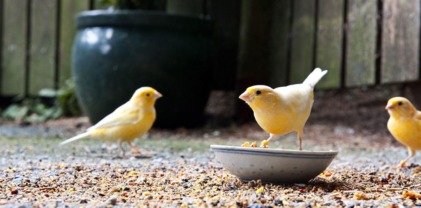 L'alimentation du canari - WanimoVéto