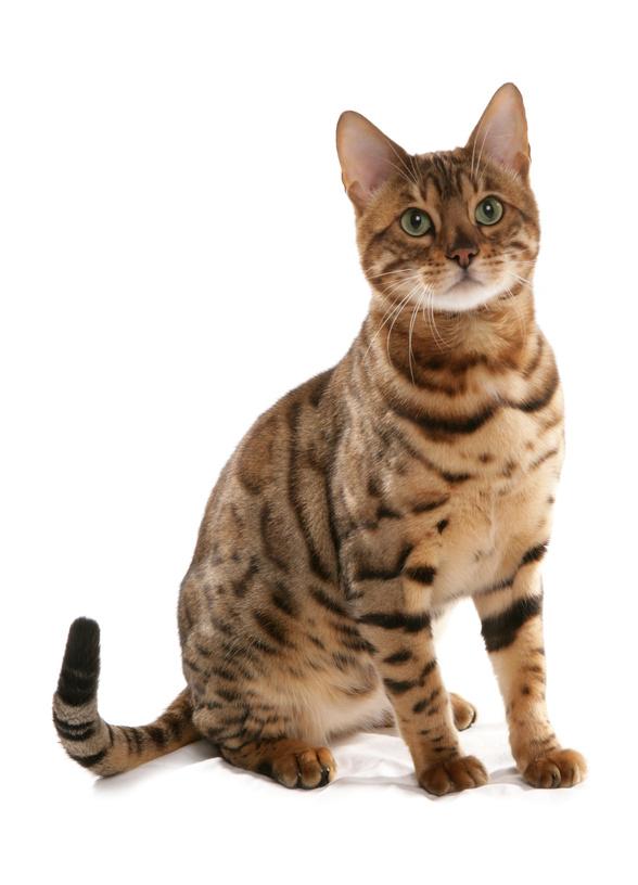 La puberté chez le chat