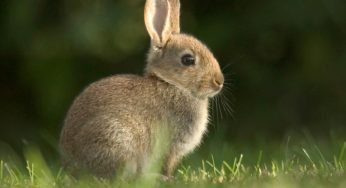 Vacciner son lapin