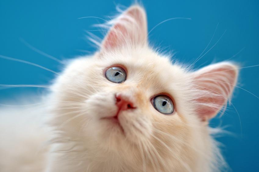 Les maladies cardiovasculaires du chat