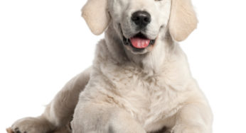 Le suivi de chaleurs chez la chienne