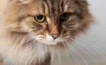 Lire la suite: La pododermatite plasmocytaire chez le chat