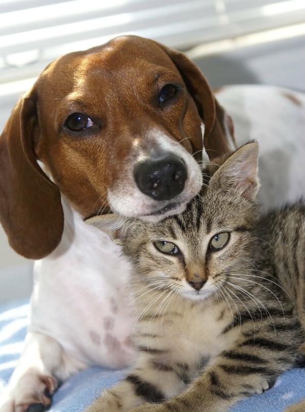 La procidence de la membrane nictitante chez le chien et le chat.