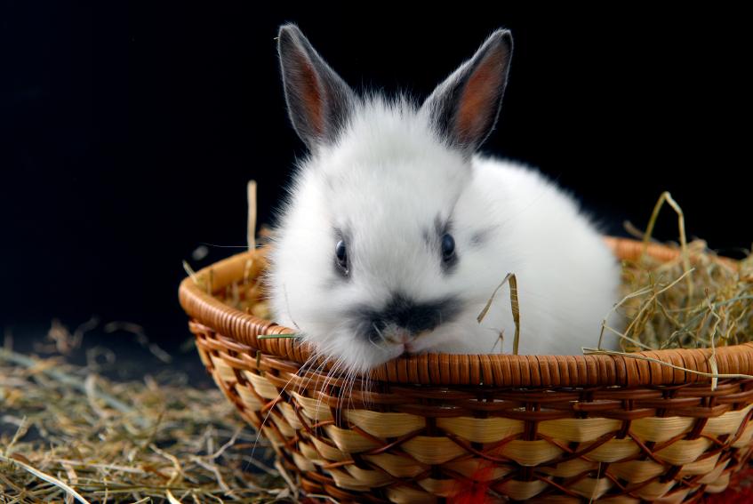 L'arrêt de transit chez le lapin