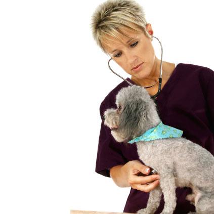 Caniche examiné par un vétérinaire