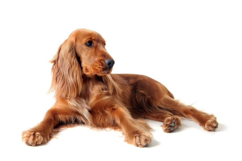 Les pancréatites chez le chien