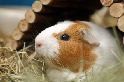 La reproduction chez le cochon d'Inde ou cobaye