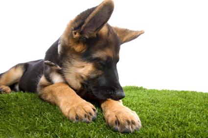 Lire la suite: Les oreilles de mon chiot tombent, que faire ?