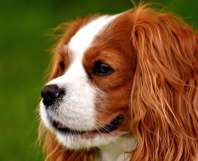 Les problèmes cardiaques du chien