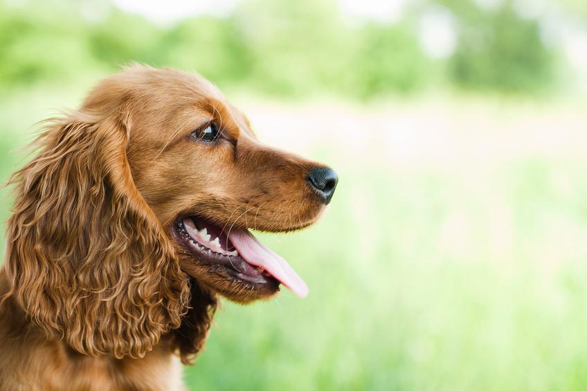 Le reverse sneezing chez le chien