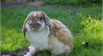 Les otites externes chez les rongeurs et lapins