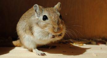 Lire la suite: L'alimentation de la gerbille