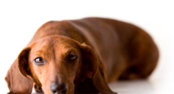 La maladie valvulaire dégénérative chez le chien