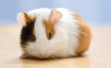 Lire la suite: Constipation et stase digestive chez les rongeurs
